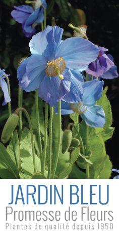 Pavot bleu de l'himalaya, une merveille du monde végétal avec ses fleurs aux 4 pétales diaphanes de couleur bleue ou parfois blanche couronnés de grandes étamines jaunes.  http://www.promessedefleurs.com/vivaces/vivaces-par-variete/pavots/pavot-bleu-de-l-himalaya-meconopsis-betonicifolia-p-1203.html