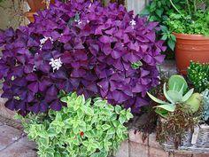 New Shamrock Oxalis Regnelii Fanny  Good Luck Plant PinkFlower Clover 1 Bulb