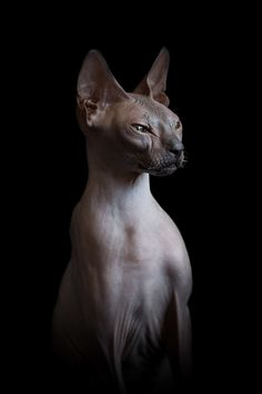 For Disturbing Beauty of Sphynx Cats, osos Angeles-based animal photographer Alícia Rius examines the beguiling contours of the hairless cat, capturing the paradoxical marriage of elegance and peculiarity inherent in each feline figure. Siamese Cats, Cats And Kittens, Hairless Cats, Gato Sphinx, Chat Sphynx, Animal Original, Image Chat, What Cat, Photo Chat