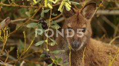 Wallaby feeding on leaves of bush - Stock Footage | by JahnProductions