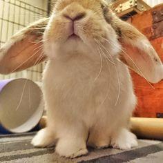 Ground control do you copy - Twix here we are ready for takeoff - over  Copy. Roger that. Clear for takeoff Twix - over  _____   _____ #twixthebunny  _____________________________________________ #bunnies #dailyfluff #buzzfeedanimals #bunniesofinstagram #cuteanimals #rabbits #rabbitsofinstagram #whiskers ----- #cutepets #bunniesworldwide #instabunny #showcasing_pets #babyanimals #rabbitstagram #bunnystagram #fluffball #cutepet #bunnyrabbit #minilop #petgram #houserabbit #dailydoseofcute…