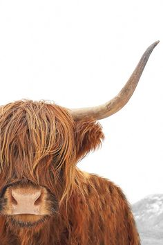 Portrait Of A Highland Cow Canvas Art By Dorit Fuhg Icanvas - Portrait Of A Highland Cow By Dorit Fuhg Is Printed With Premium Inks For Brilliant Color And Then Hand Stretched Over Museum Quality Stretcher Bars Day Money Back Guarantee And Free Return Sh Highland Cow Painting, Highland Cow Art, Highland Cow Canvas, Scottish Highland Cow, Highland Cattle, Fluffy Cows, Cute Cows, Tier Fotos, Cow Print
