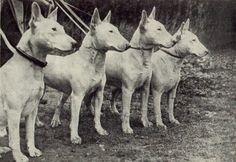 Vintage English Bull Terriers