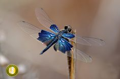 Sapphire Flutterer, Lesser Blue-Wing(Rhyothemis Triangularis) differs from rhyothemis resplendent. This #dragonfly comes under top 10 rare dragonflies in India.  Photo by Shivraj Singh at Tree House Hideaway, #Bandhavgarh (www.treehousehideaway.com)