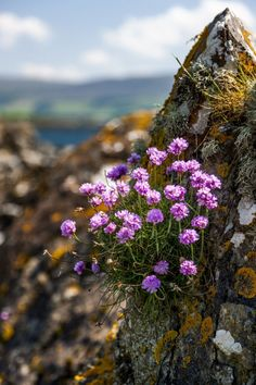 Thrift (Armeria maritima), otherwise known as Sea Pink, is perhaps not the rarest of our coastal wild flowers, but it is certainly one of the prettiest. By Alex Saunders Rock Flowers, Wild Flowers, Beautiful Flowers, Purple Flowers, Plantes Alpines, Alpine Plants, Arte Floral, Belle Photo, Beautiful World