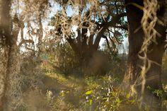 Vincent J. Musi - Projeto Bacia ACE  No emblemático Lowcountry da Carolina do Sul, carvalhos prosperam em Wildlife Management. A área é um dos quatro na bacia para a fauna e recreação ao ar livre.