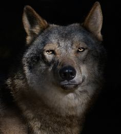 El Lobo- ok this is a gorgeous wolf! Wow!