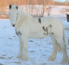 Gypsy Vanner Horse White on White