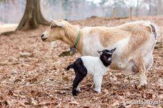serenbe, carla royal blog, serenbe blog, baby goat, nature photos-5