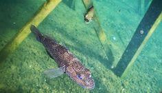 Lagi, Ikan Purba Tertangkap di Perairan Sulawesi - Disediakan oleh Tempo