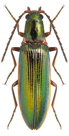 Mucromorphus miwai