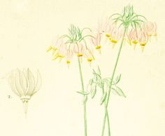 1861 Gyroselle de Virginie Dodecatheon Meadia par sofrenchvintage
