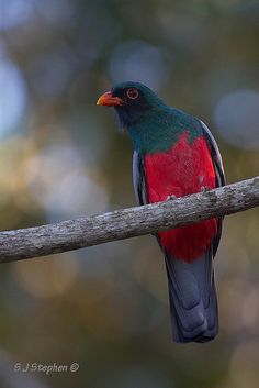 Slaty-tailed Trogon Male | Flickr - Photo Sharing!