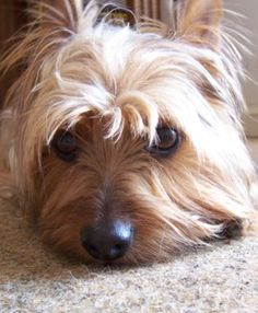 Buddy Butt, my silky terrier