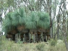 Xanthorrea - Grass Trees Can live for 300 - 500yrs