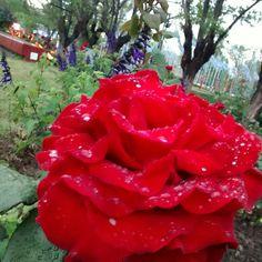 Rosa Roja con gotas de lluvia, Tecnopolis. #flowers #flower #flowerstagram #flowersofinstagram #flowerslovers #floweroftheday #flowerpower #flowermagic #flowerporn #instaflower #weddingflowers #flowercrown #instaflowers #wildflowers #sunflower #flowergirl #flowerchild #flowerlovers #flowerstalking #springflowers #flowershop #cauliflower #freshflowers #pinkflowers #flowerlover #flowergram #flowerphotography #sunflowers #flowertattoo #flowerarrangement