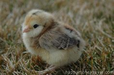 How to Care for baby chicks - this is an awesome, thorough guide