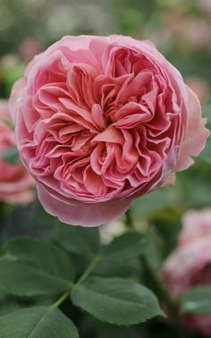 'Boscobel' has a myrrh scent and salmon pink, rosette formed flowers held on an upright shrub.Rosa 'Boscobel' has a myrrh scent and salmon pink, rosette formed flowers held on an upright shrub. Exotic Flowers, Pretty Flowers, Pink Flowers, Yellow Roses, Hibiscus Flowers, Beautiful Roses, Beautiful Gardens, Simply Beautiful, Rose Foto