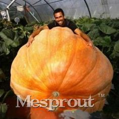 Hot Sale! Giant Pumpkin Seeds 10pcs Vegetable Bonsai Fruit seed Happy Farm for Home & Garden Plant Exotic Interested gift Free s
