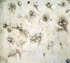 Leonardo Da Vinci plant studies
