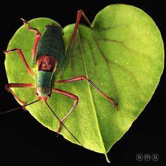 Какой-то странный кузнечик. Grasshopper on  of sarracenia flava. #californiacarnivores #carnivoroustagram #carnivorousplant #carnivorousplants #plantporn #pitcherplants #sarracenia #carnivoroustagram #carnivorousplantsofinstagram #carnivoras #piantacarnivora #macro #macros #macroshots #picoftheday #macro_captures #macrocosmos #picture #iphone #iphone5s #iphonephoto #iphonegraphy #iphoneography #pictoftheday #exotic.flora #grasshopper ( # @ema.gam )