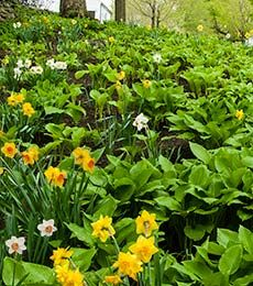 Collaboration for Part Shade for the North—Daffodils & Hosta