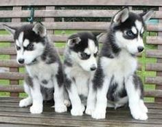 husky puppies with blue eyes - Google Search