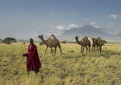 Maasai herding camels