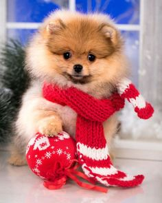 Pomeranian Spitz the dog dog in red santa scarf, Posted by : @friendlypomeranian Follow me to see more nice picture  Thank you so much ☝️☝️ Tag someone who you'd want to share this photo with Beautiful  All about Pomeranian Dogs for dog lovers. @friendlypomeranian  ⤵ Double tap & tag your friend Love it  ❤❤❤ ❤❤❤ ❤❤❤ #Pom #baby #pomeranianspitz #pomstagram #pomeranianlife #pomeranianlovers #puppy