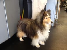 Sheltie girl