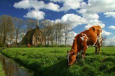 Dutch cow. GRASS FED