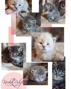 Cats Afraid Of Cucumbers Key: 6429227061 Siberian Forest Cat, Siberian Kittens, Be Proud, Cute Kittens, Dexter, Diesel, Presents, Birthday, Sweet