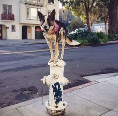 Herding dog becomes adoption success story and urban agility star on Instagram #sanfrancisco