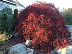 Acer Palmatum, Japanese Maple, Projects To Try, Gardening, Plants, Lawn And Garden, Plant, Planets, Horticulture