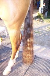 Tail braids and tail bags for horses! To protect and condition your horse's tail, you can use long and loose braids or a tail bag. Be sure all ties are below the tail bone, and avoid using products on the tail bone for extended periods. Horse Tail, Horse Care Tips, Tail Braids, Horse Grooming, Mane N Tail, Horse Trailers, Horse Training, Show Horses, Horse Stuff
