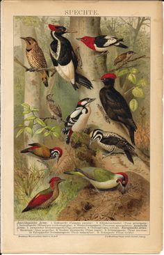 Antique Bird Print Woodpeckers Original by AntiquePrintBoutique, $29.00