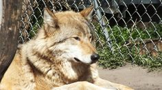 Farkas  #wolf #farkas