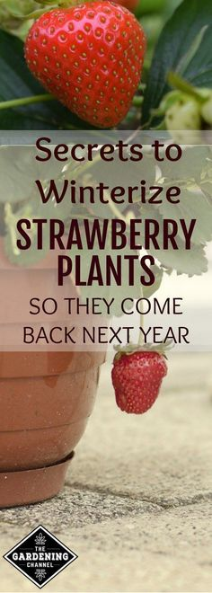 Winterize your strawberry plants so they can grow back every year. Try these tips for potted strawberry plants in your garden. #OrganicGardeningTips