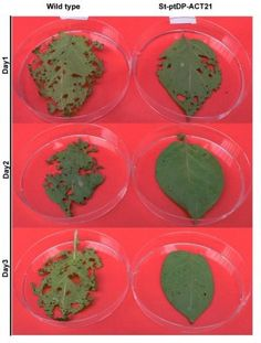Fighting Colorado potato beetle with RNA interference