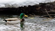 A male mallard duck swims in the icy waters of the Fox River in Waukesha, Wisconsin USA.
