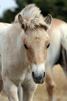 Juliette the Norwegian Fjord colt - Foals - from It's a Lifestyle