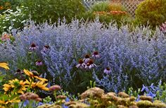 This week's Plant Pick of the Week is several new introductions of dwarf-sized Russian sages -- long-blooming, tough perennials that don't flop like their bigger cousin. Long Blooming Perennials, Perennial Grasses, Flowers Perennials, Sage Garden, Lawn And Garden, Russian Sage, Hummingbird Plants, Colorful Garden, Garden Inspiration