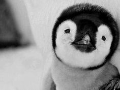Baby penguins are so freaking cute