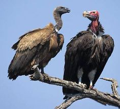 African Whitebacked Vulture - Gyps africanus and Lappetfaced Vulture - Torgos tracheliotus in parliament together.  The different species often work together on a kill, squabbling all the while, but the fact is that the smaller Gyps need the power of the Torgos larger, stronger beak to tear open a carcass.