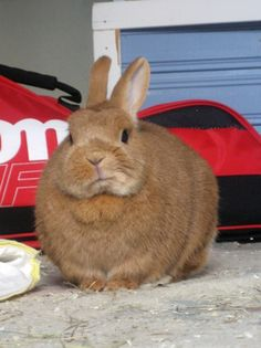 fat-animals Chubby fluffy Neponen A rabbit that is fat (and… Funny Bunnies, Baby Bunnies, Bunny Meme, Bunny Rabbits, Fat Animals, Funny Animals, Fat Bunny, Kawaii, Animal Memes