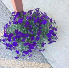 We have Petunias that just arrived at Bar None Country Store. barnonecountrystore.com #Petunias #hangingbaskets
