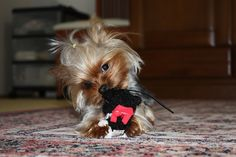 Yorkie with a toy.