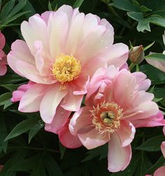 Klehm's Song Sparrow Farm and Nursery--Tree Peonies--Itoh 'Julia Rose'