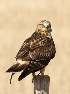 Rough-legged hawk - top of the wings and color ref