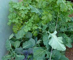 Asociaciones de cultivos: Puerro, mostaza, repollo y acelga
